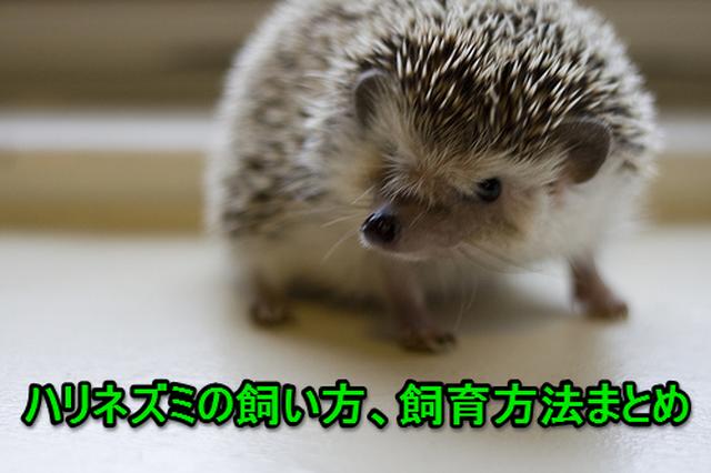 【まとめ】ハリネズミの飼い方、飼育方法!初期費用~心配事までコレ見ればOK!